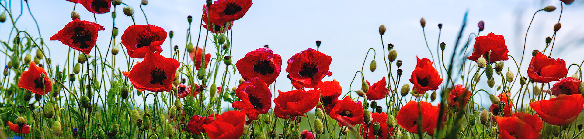 Rote Blumenwiese
